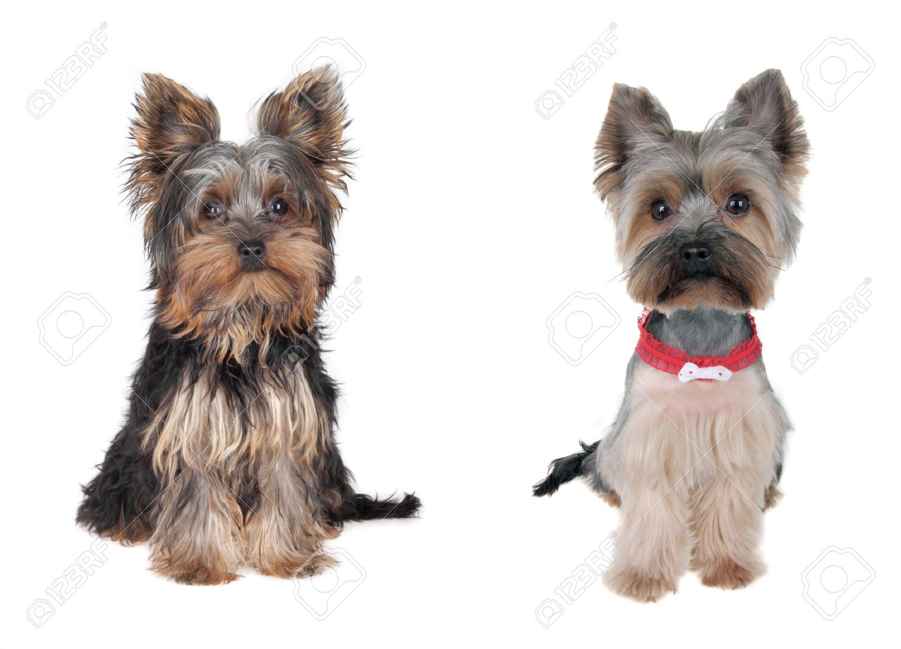 Yorkshire Terrier Grooming Needs Information Keywords And Pictures