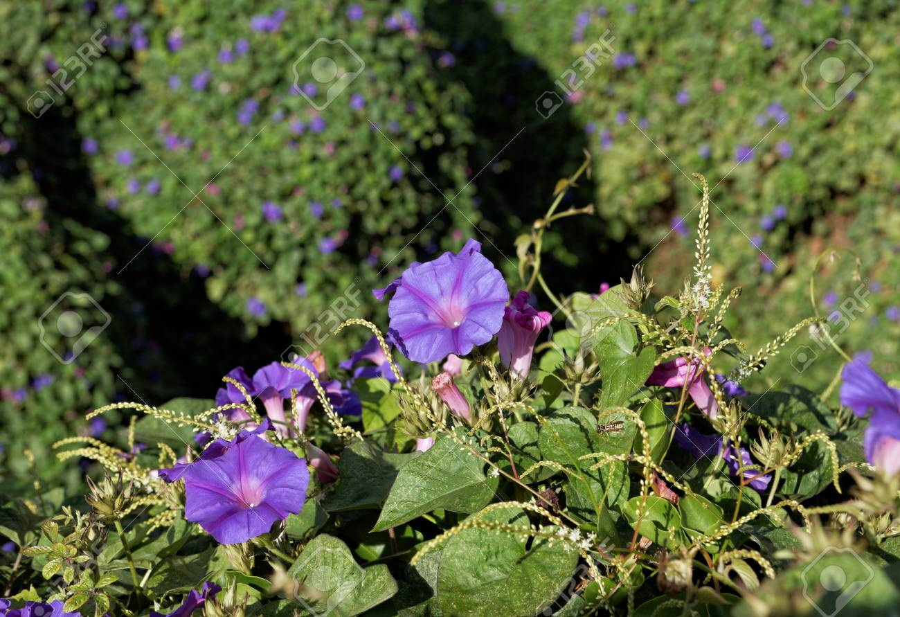 Ipomoea Purpurea Annual Vine With Purple Flowers Background Stock