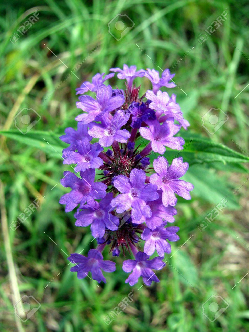 small cluster of tiny purple flowers stock photo, picture and, Beautiful flower
