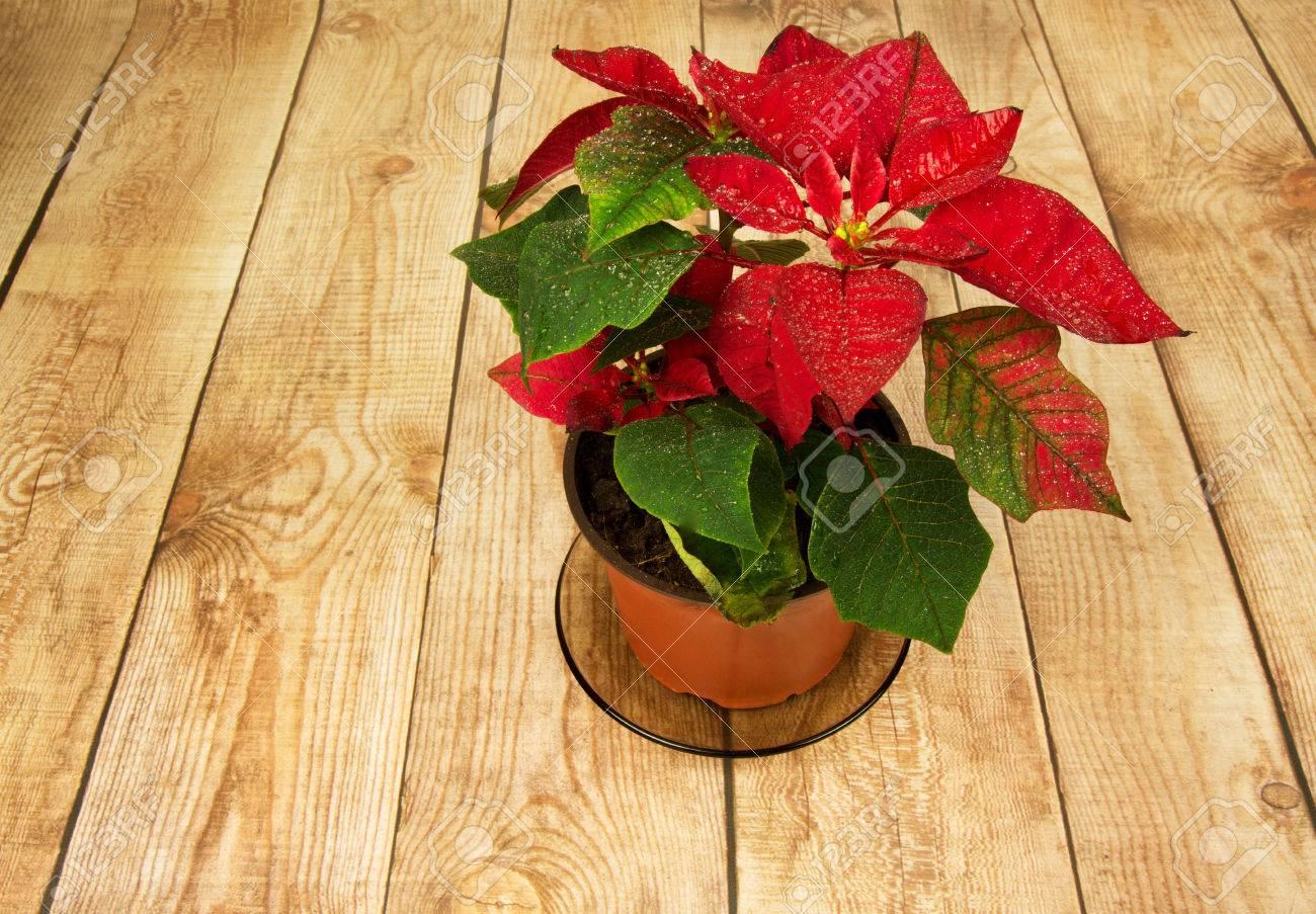 Poinsettia Ist Ein Traditionelles Weihnachtsblume Es Ist Als
