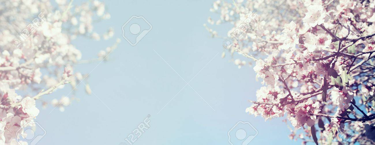 Abstract blurred website banner background of of spring white cherry blossoms tree. selective focus. vintage filtered - 52460744
