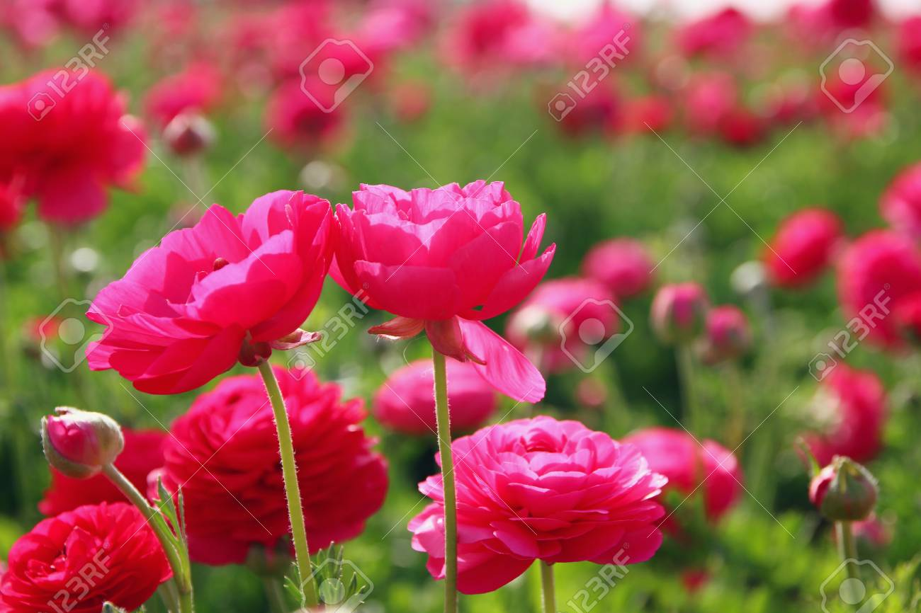 Image Of Beautiful Pink Spring Flowers Stock Photo Picture And
