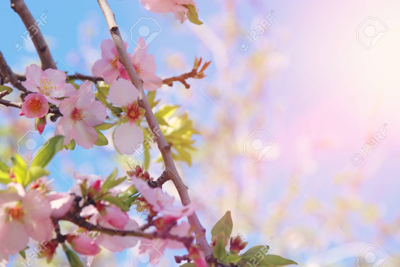 Background Of Spring White Cherry Blossoms Tree Selective Focus