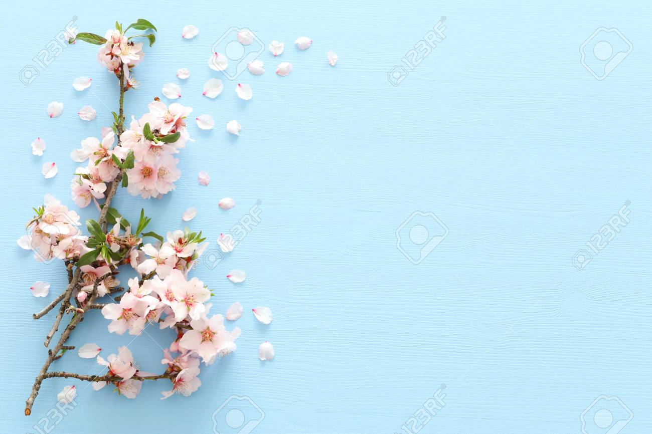 photo of spring white cherry blossom tree on blue wooden background. View from above, flat lay - 116825115