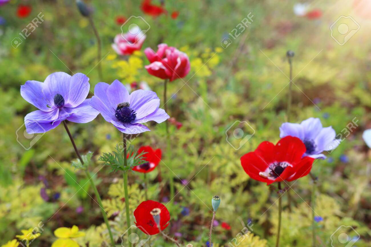 Photo of colorful poppies in the green field - 120767236