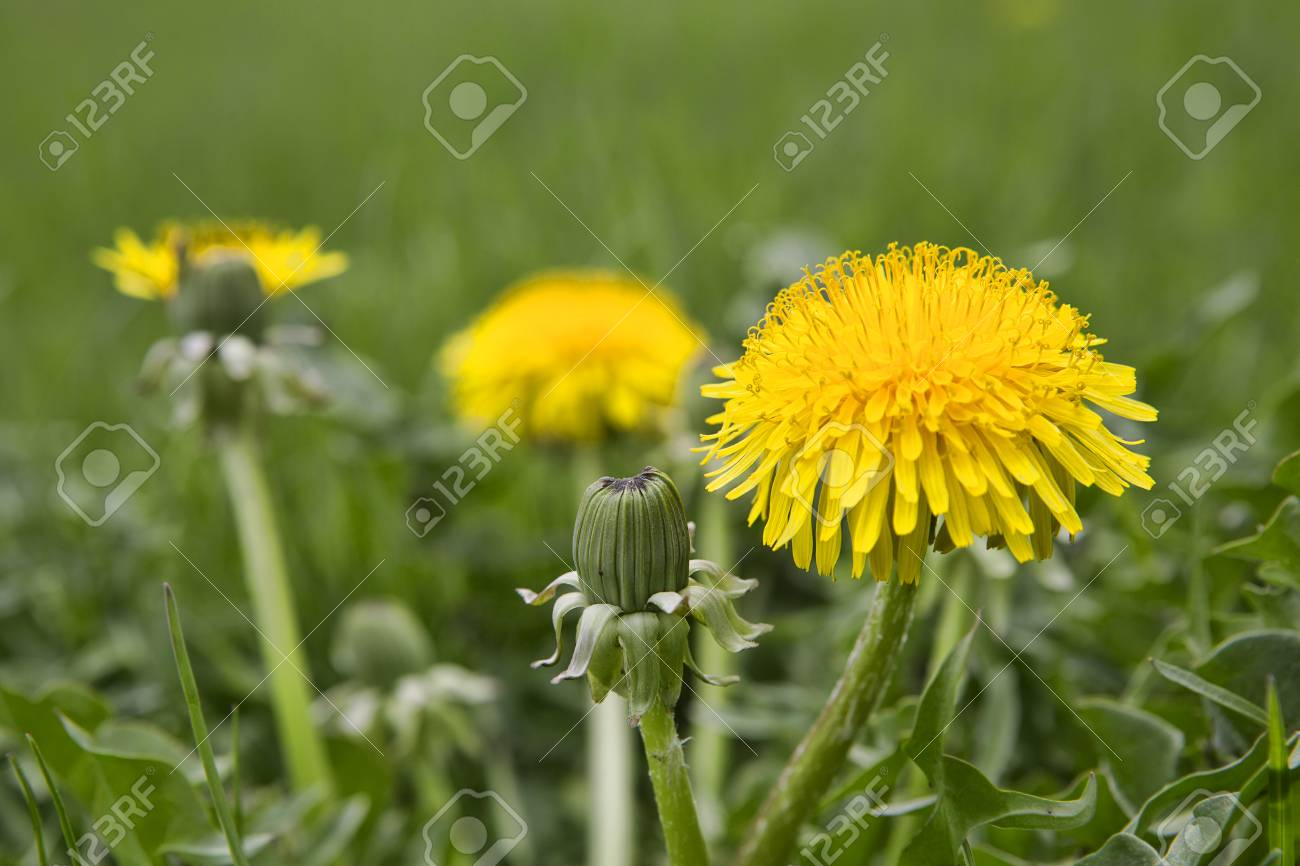 Dandelion Blossoms Growing In The Lawn Bright Yellow Flowers