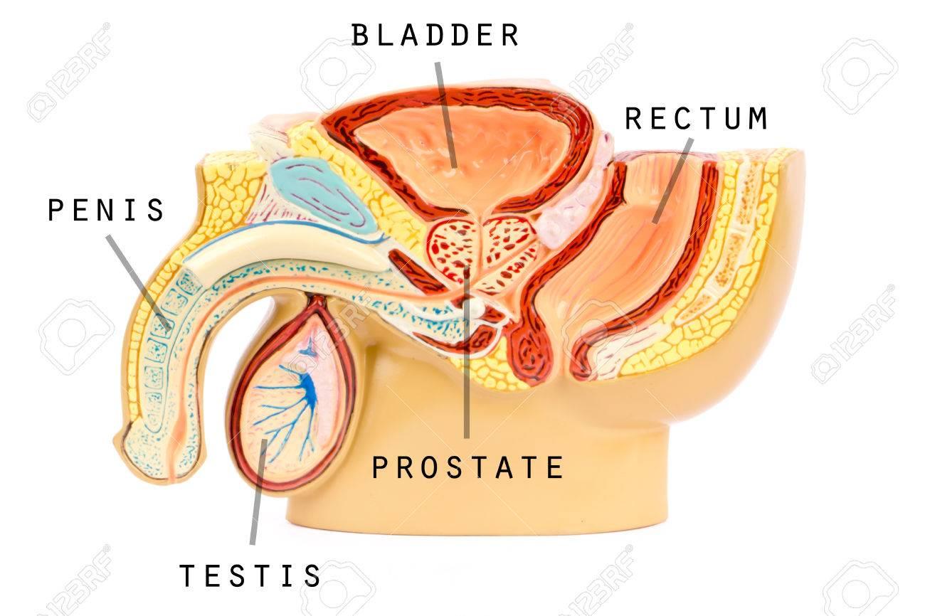Männliche Genitalanatomie Lizenzfreie Fotos, Bilder Und Stock ...