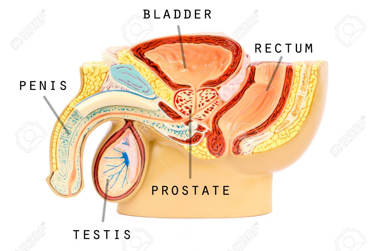 Male Genital Anatomy Stock Photo, Picture And Royalty Free Image ...