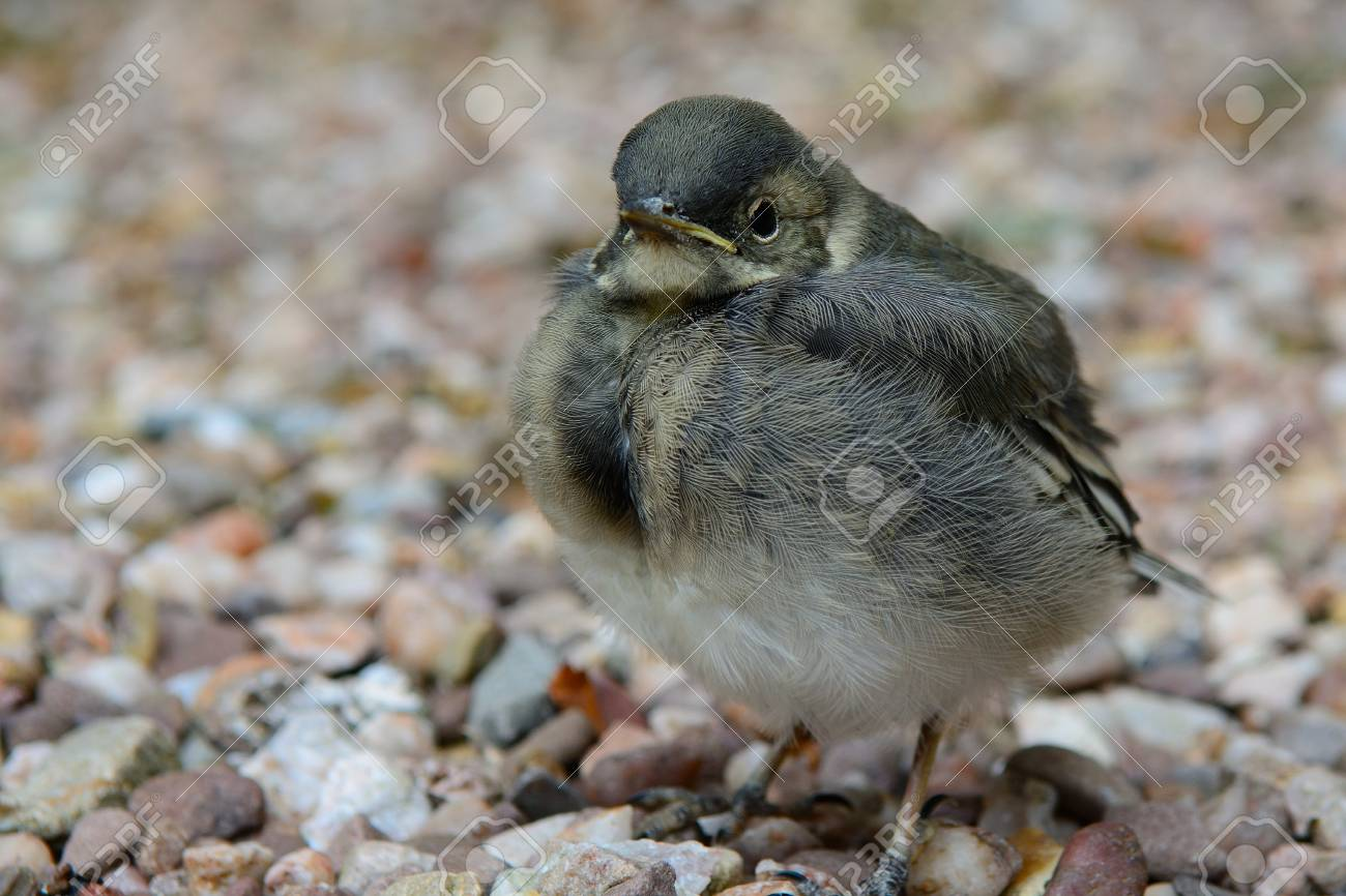 baby wagtail