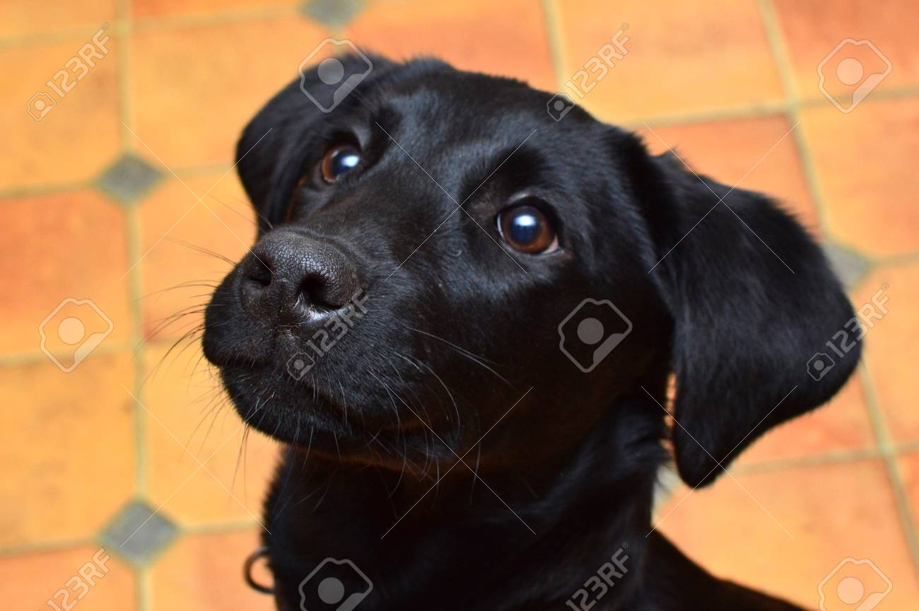Head Shot Of A Cute Black Labrador Puppy Looking Up Stock Photo Picture And Royalty Free Image Image 94253505