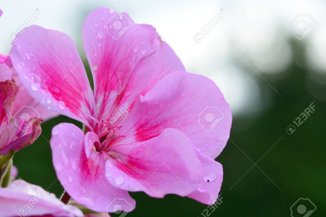 Close Up Of A Pink Geranium Flower In Bloom Stock Photo Picture And
