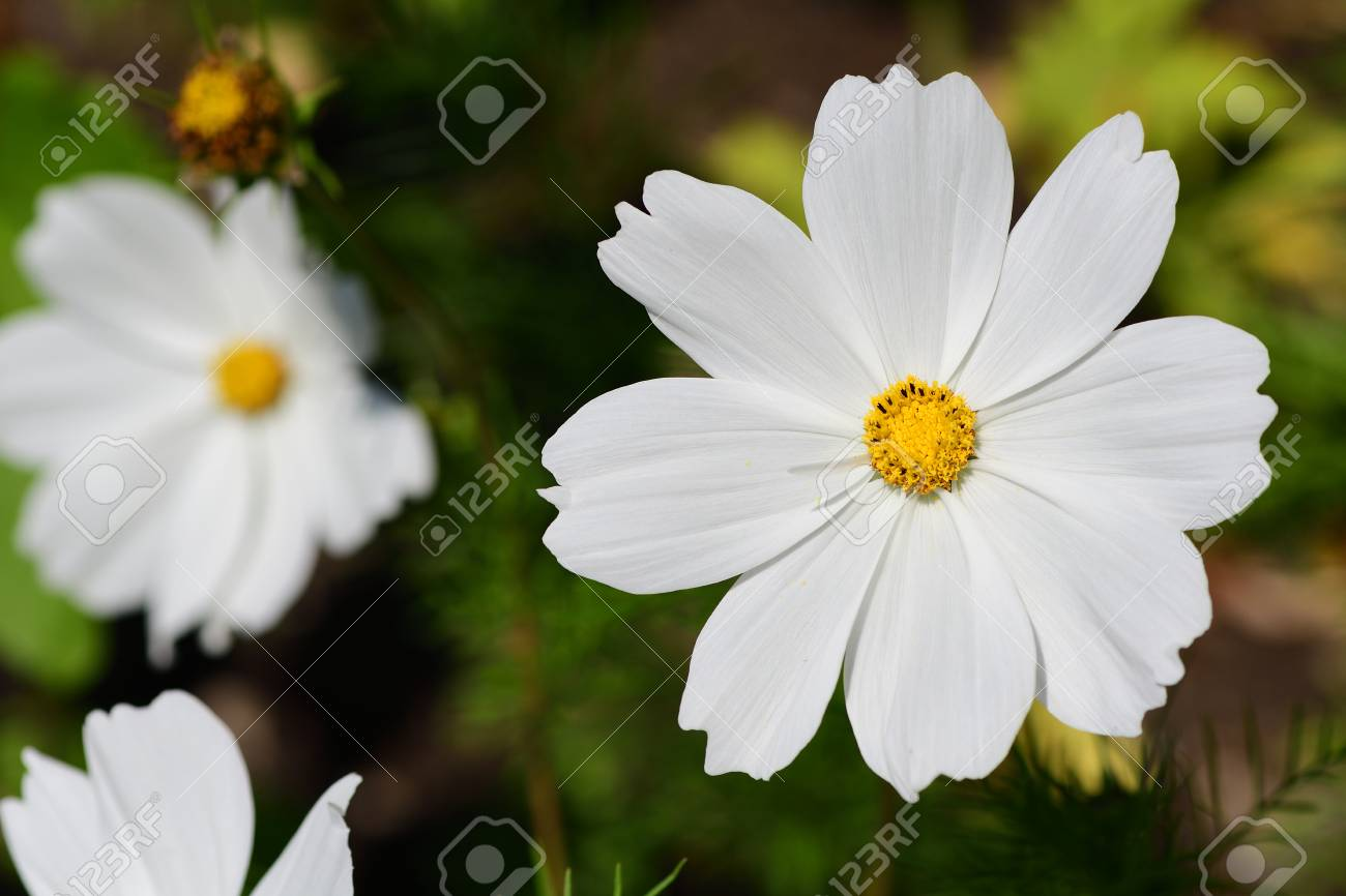 Close Of A White Cosmos Flowers In Bloom Lizenzfreie Fotos Bilder