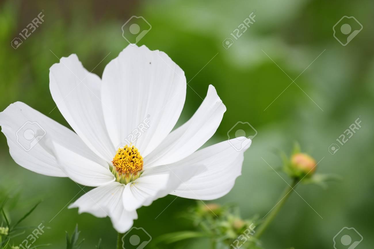 Close Of A White Cosmos Flower In Bloom Lizenzfreie Fotos Bilder