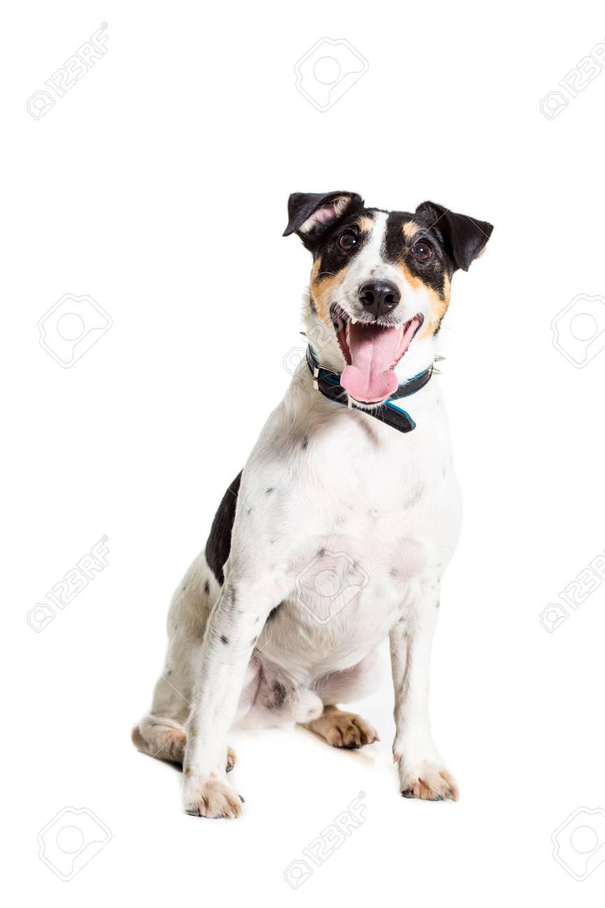 Fox Terrier Im Studio Auf Weißem Hintergrund Aufwirft. Isoliert ...