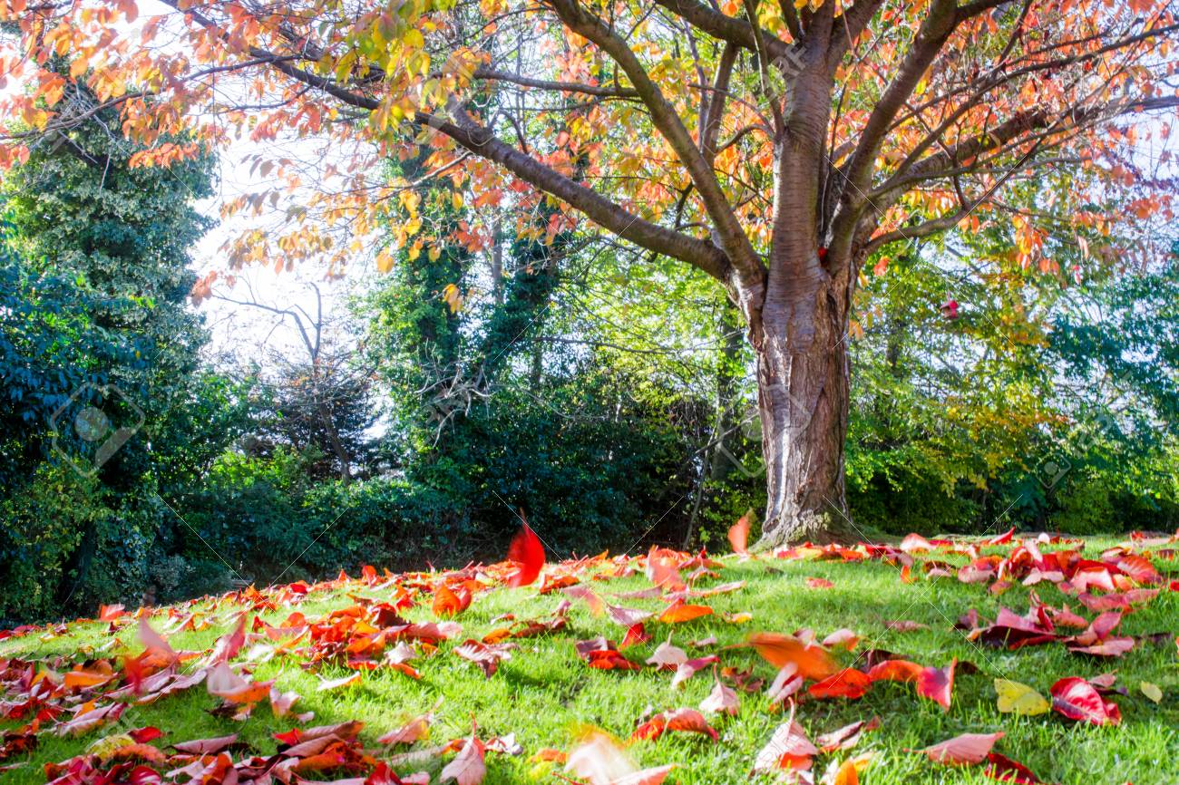 Autumn Tree With Moving Red Leaves Blowing In The Wind Stock Photo Picture And Royalty Free Image Image 89496349