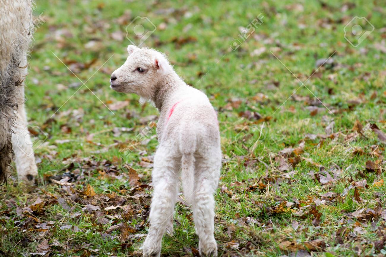 Baby Lamb In Field In Spring During Lambing Season Stock Photo ... for baby lamb in spring  110ylc