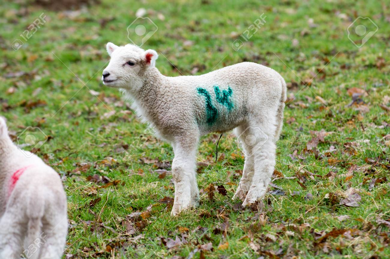 Baby Lamb In Field In Spring During Lambing Season Stock Photo ... for baby lamb in spring  186ref