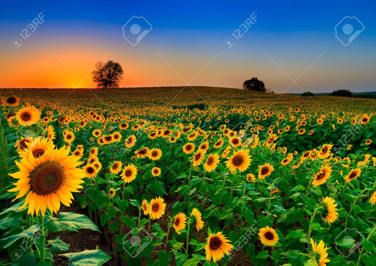 A rolling field of sunflowers at dusk in Kansas - 36979076