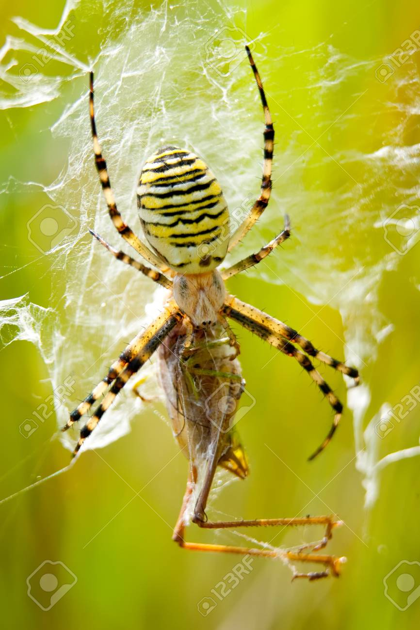 Wasp Spider (Argiope bruennichi) devours grasshopper Stock Photo - 4289101