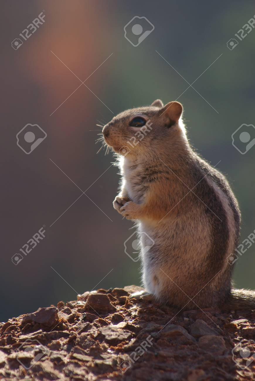 squirrel Stock Photo - 12990036