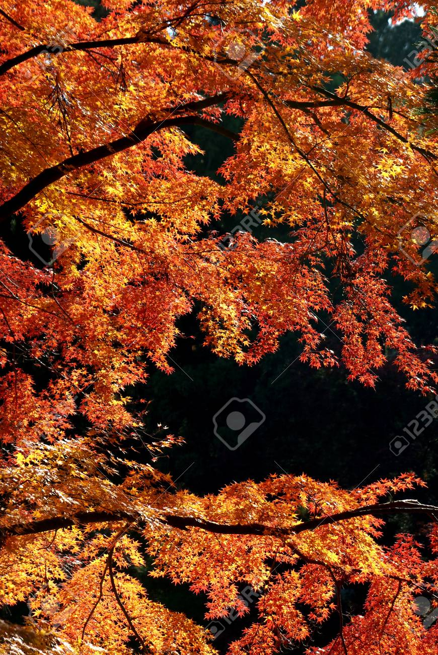 red leaves in autumn Stock Photo - 13328314