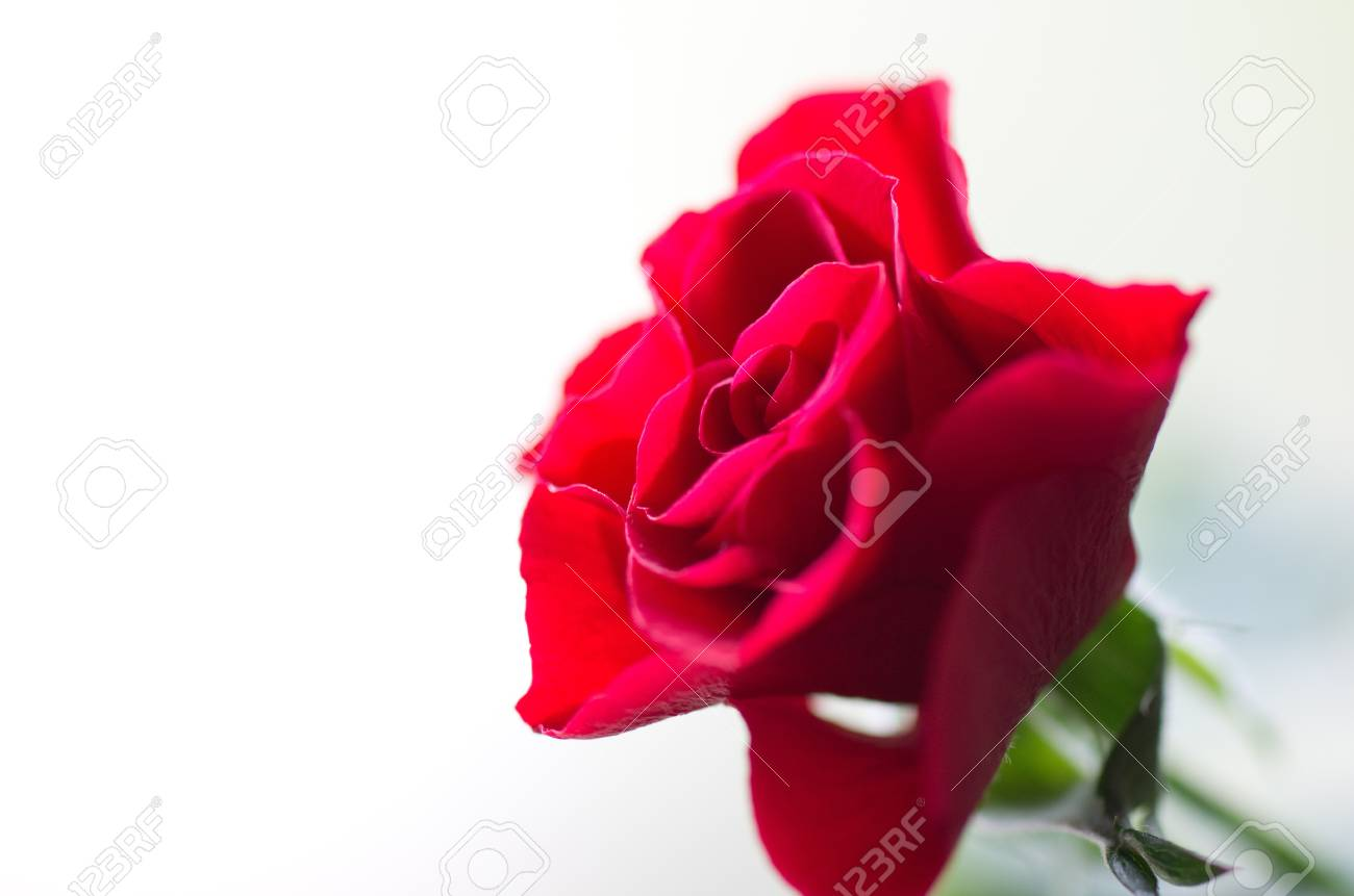 close-up red rose Stock Photo - 13352014