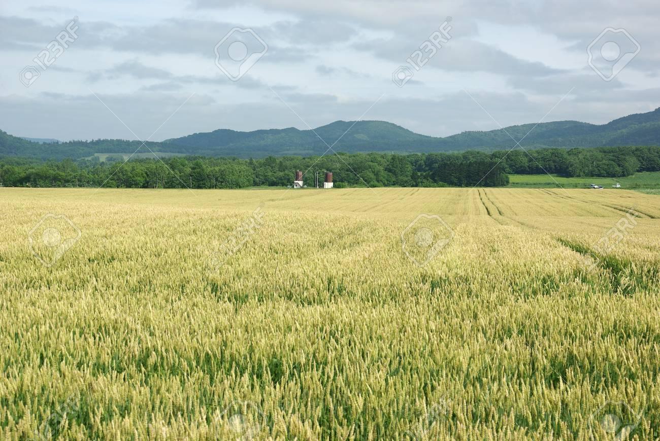 field of wheat Stock Photo - 13683213