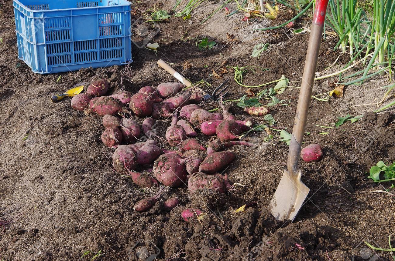 harvesting sweet potatoes Stock Photo - 16716066