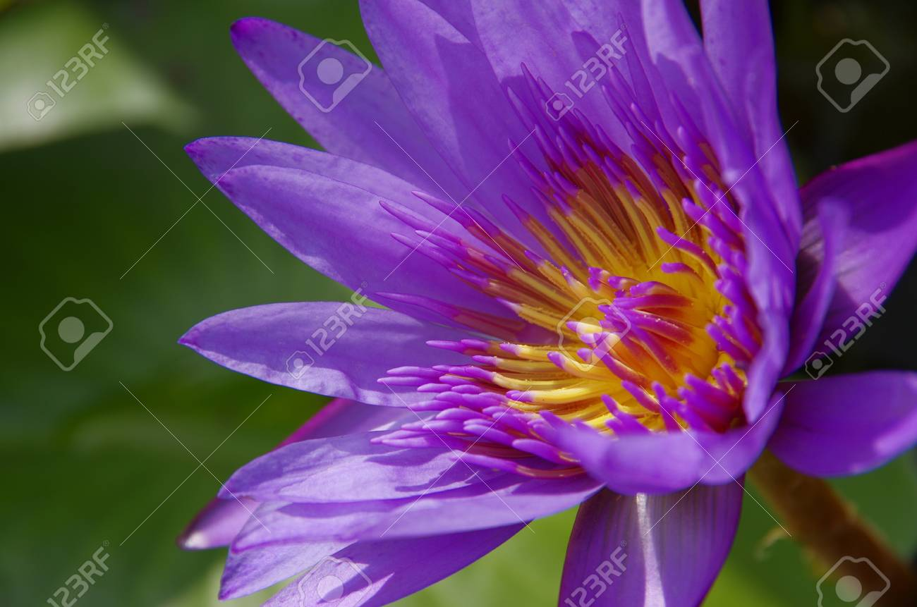 tropical water lily Stock Photo - 18592014