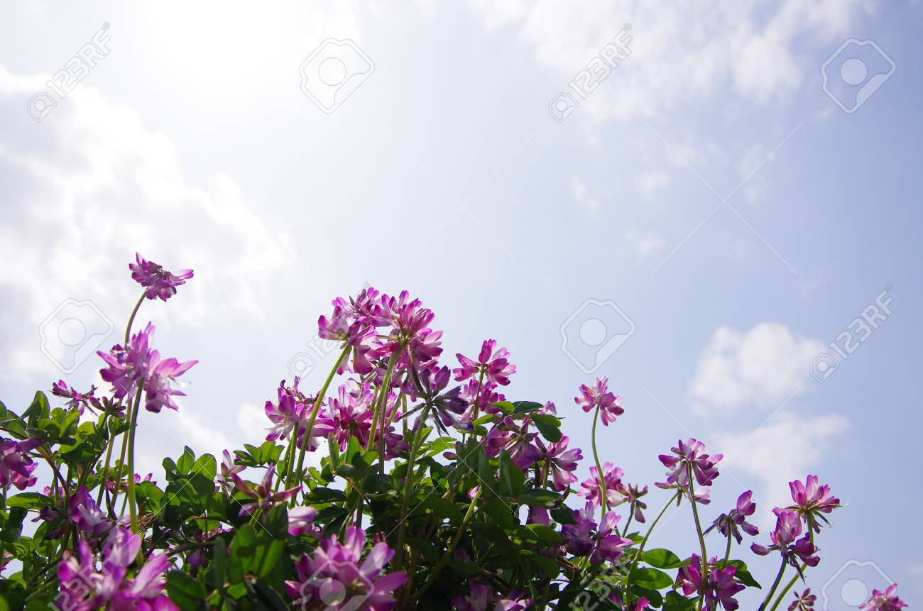 field of Astragalus Stock Photo - 19476753