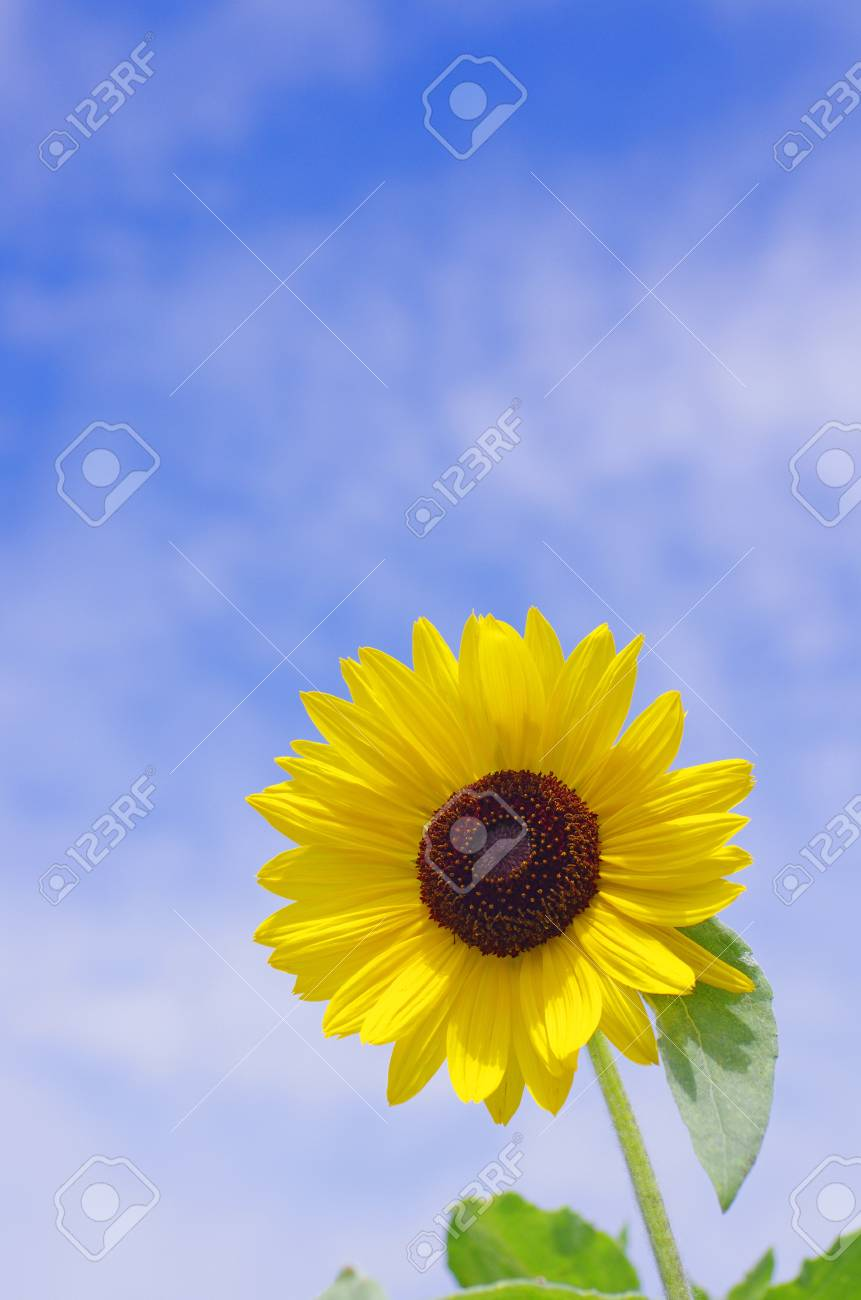 sunflower against blue sky Stock Photo - 21019080