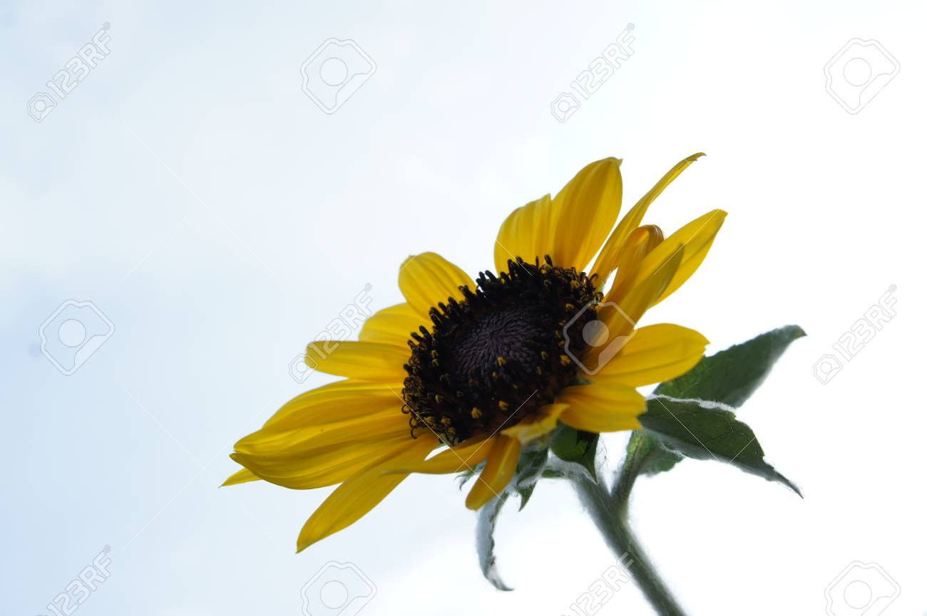 sunflower Stock Photo - 23008217