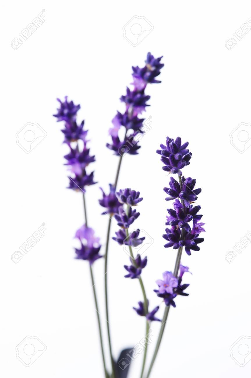 Detail of lavender flower Stock Photo - 3982753