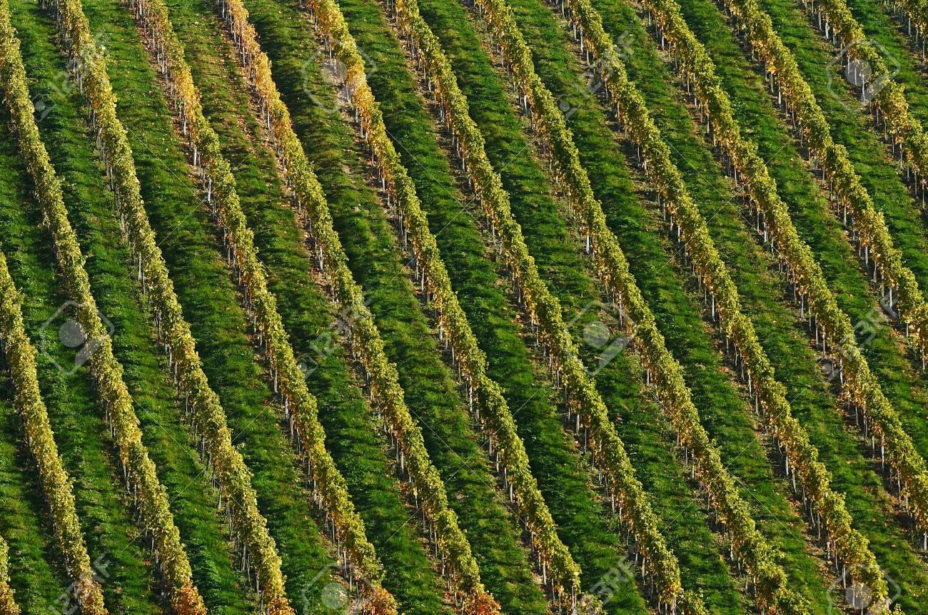 Detail of vineyard Stock Photo - 4047991