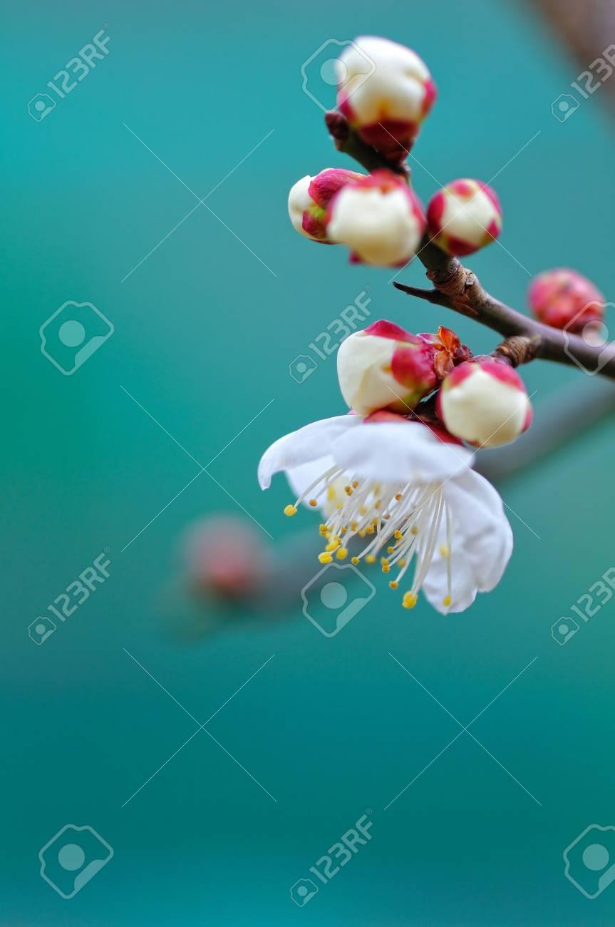 Japanese apricot - 6779895
