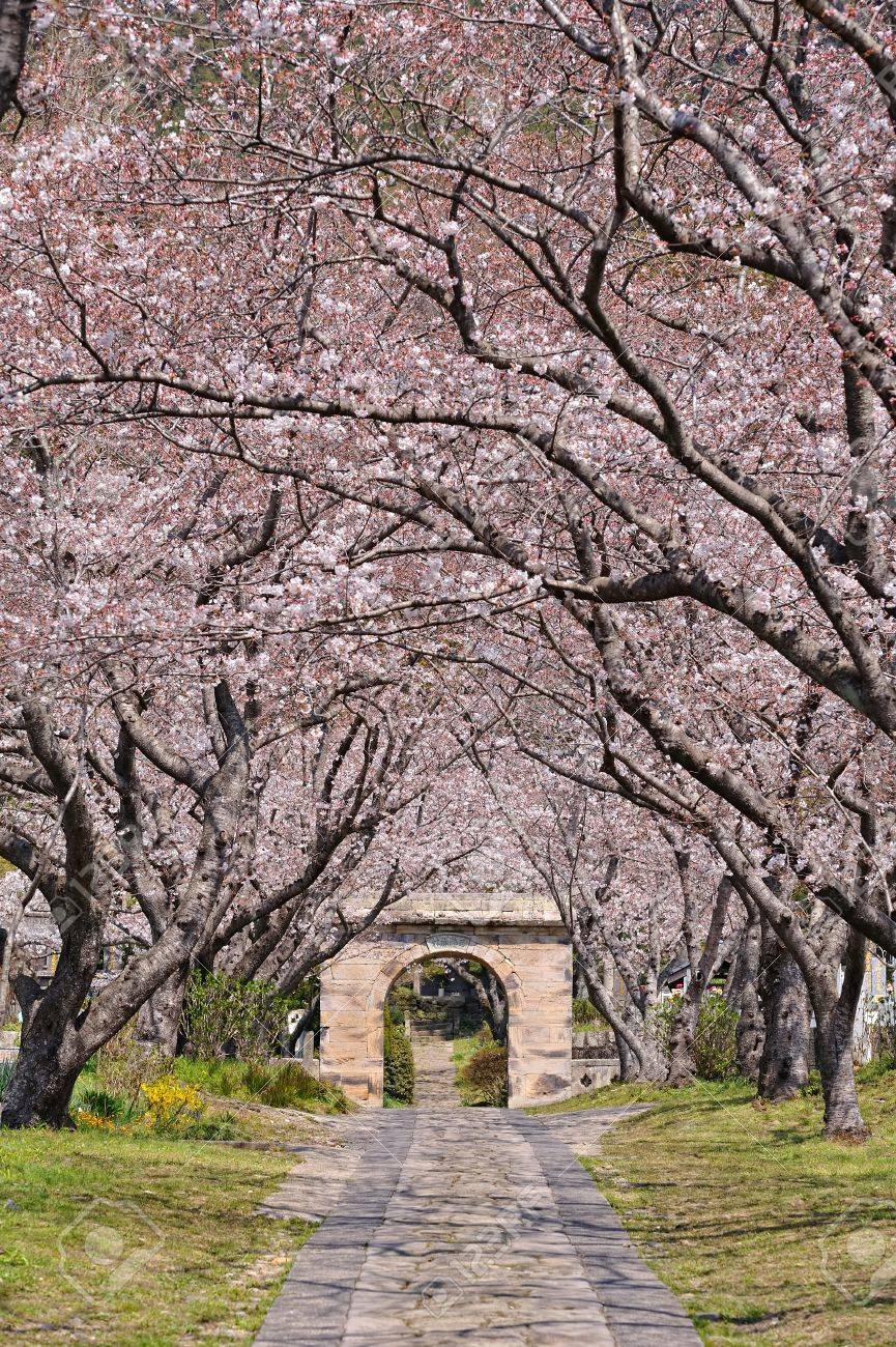 Arch of Japanese sakura blossom - 9774239