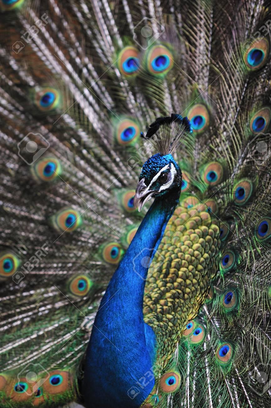 Peacock - 41944516