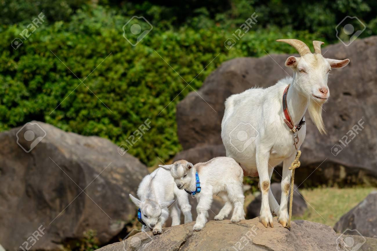 Goat Portrait - 42032328