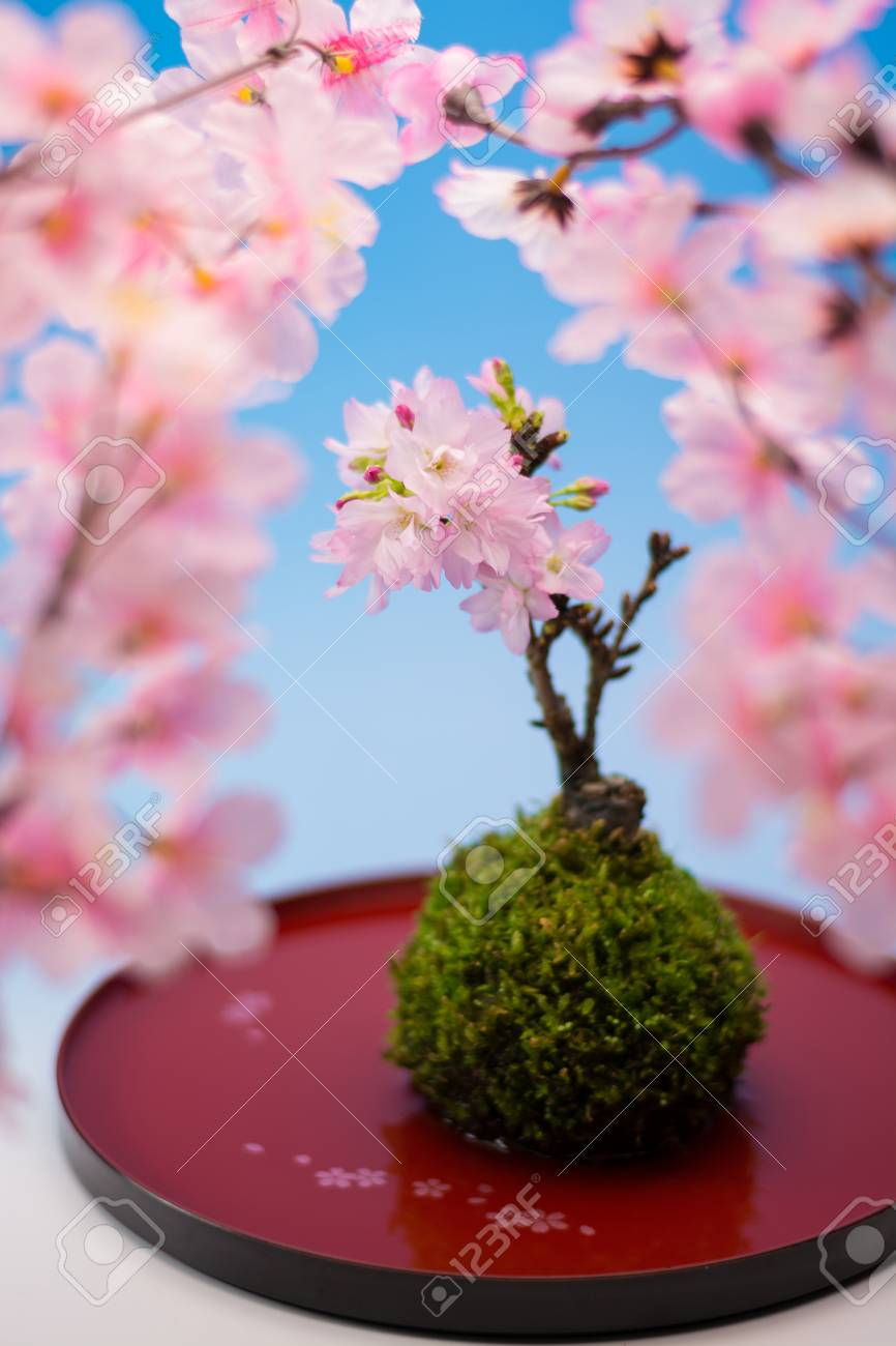 Japanese Sakura Bonsai Stock Photo Picture And Royalty Free Image Image 42087097