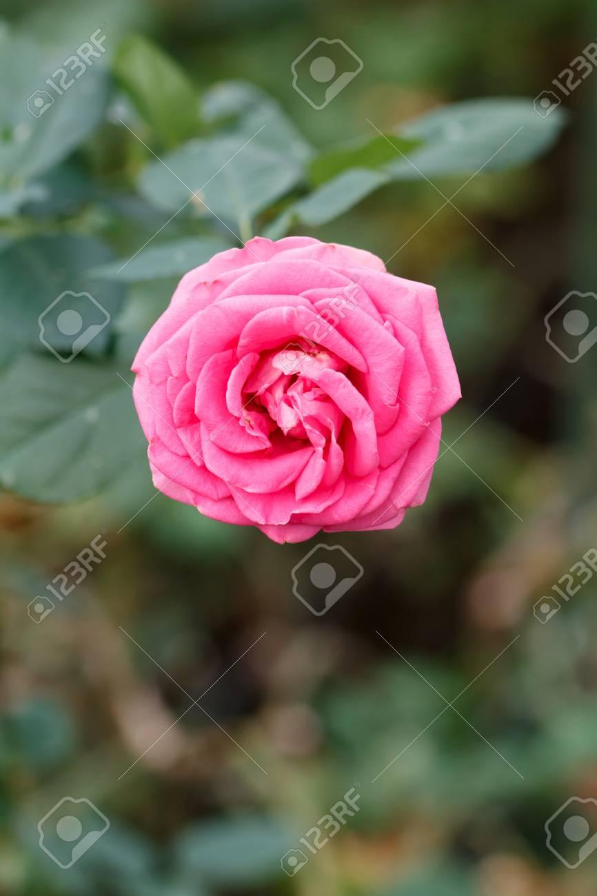 Rose flower - 46358211