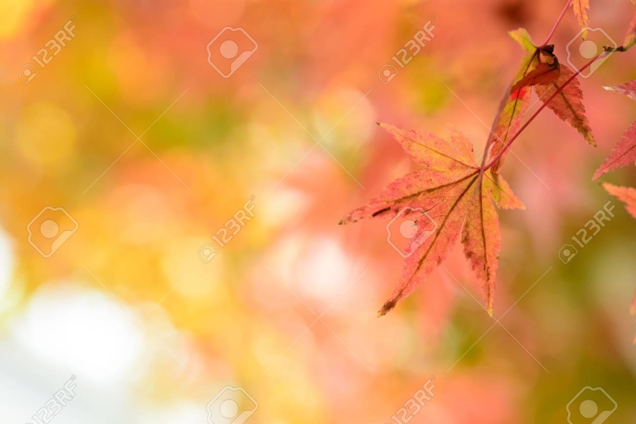 Japanese maple leaf - 46358216