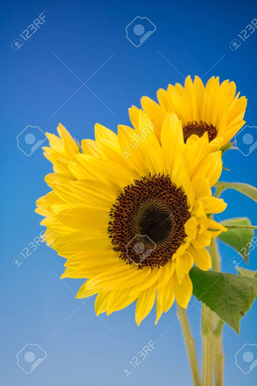 Sunflower - 46358218
