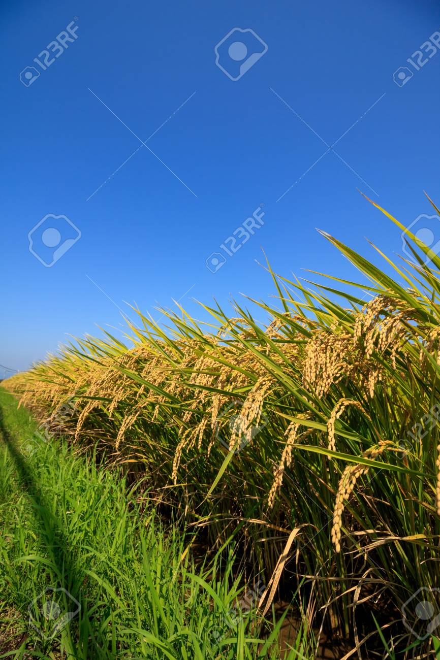 Rice Field - 57562856