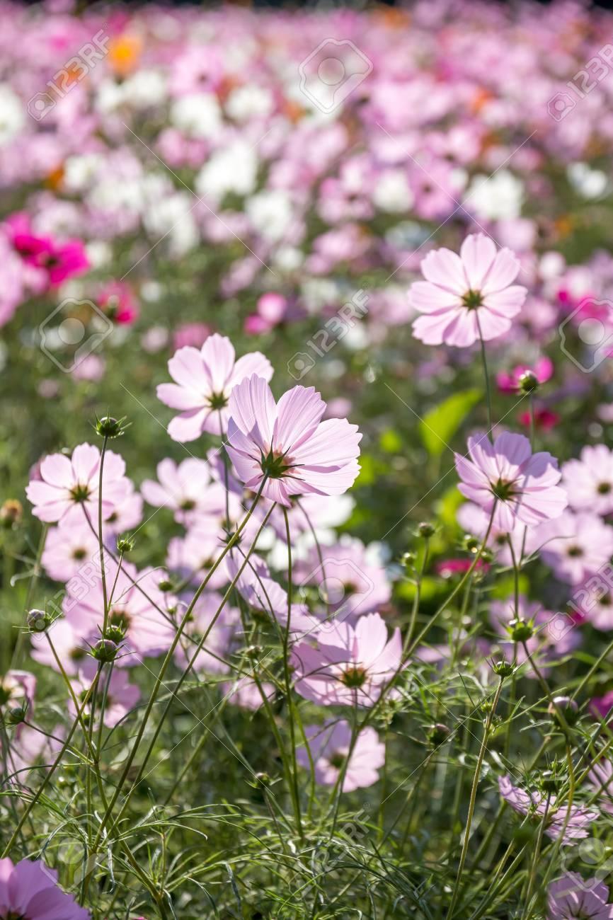 Cosmos flowers - 57563116