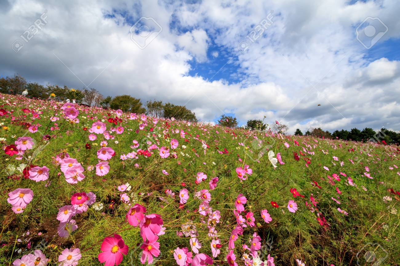 Cosmos flowers at Shirakimine, Isahaya, Nagasaki, Japan - 57563131