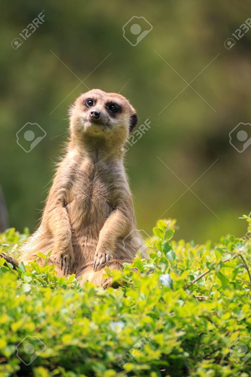 Meerkat portrait - 57563129