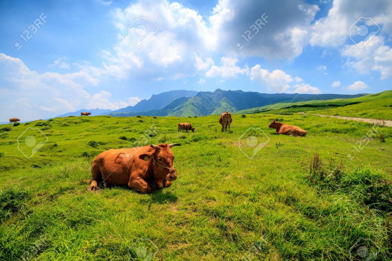 Cow - 57563502