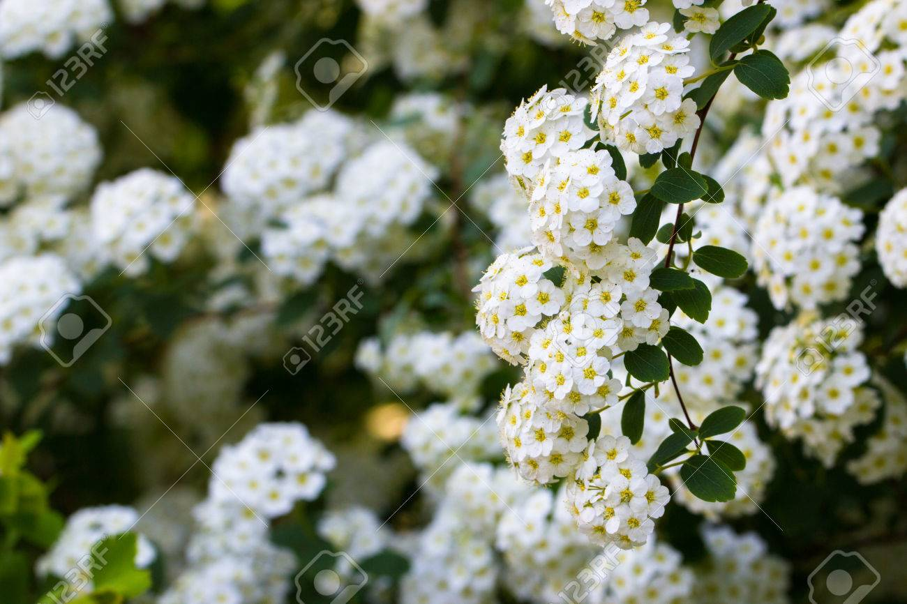Background of little white spring blooming flowers bush stock photo background of little white spring blooming flowers bush stock photo 80388418 mightylinksfo