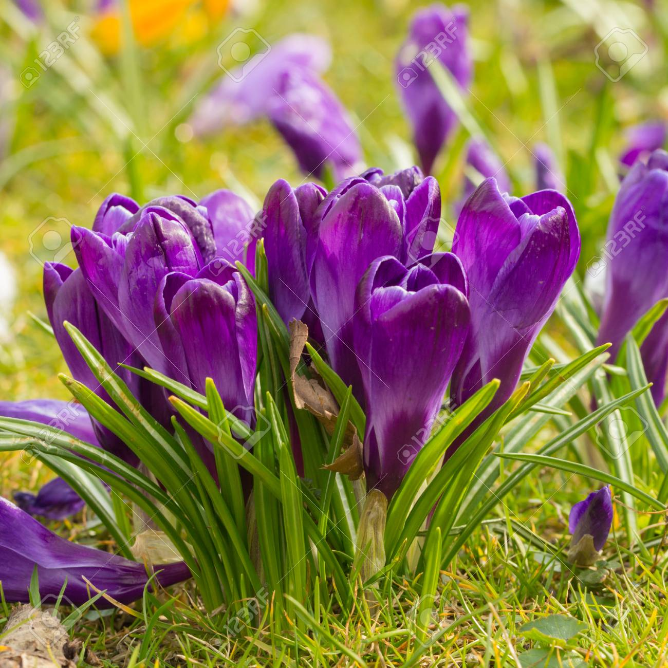 Blomming Crocus Flowers The First Spring Flowers Stock Photo