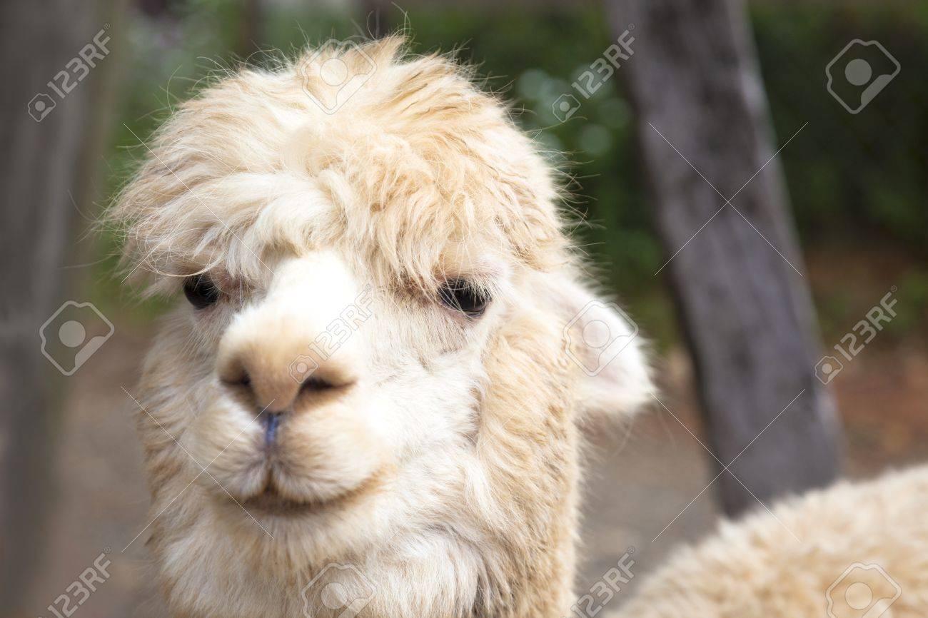 Alpaca Face close up of alpaca face